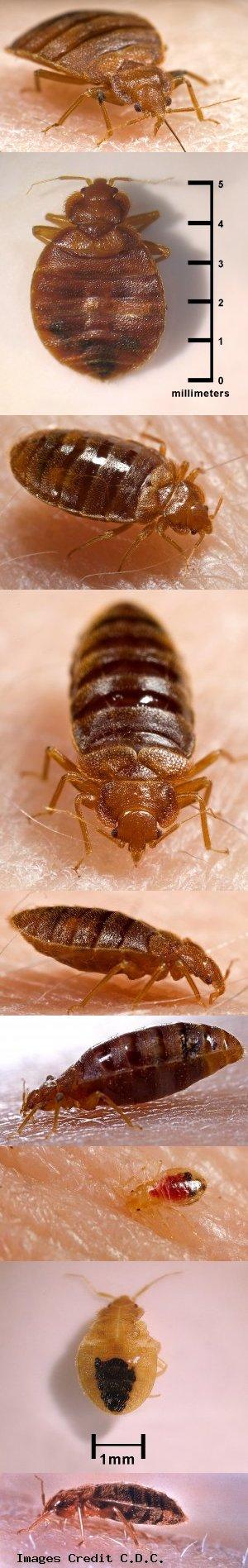 Bed Bugs Closeup